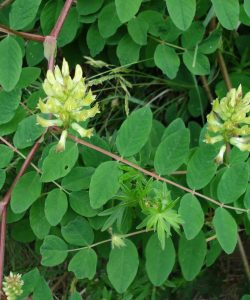 Astragalus, remediul traditional din China
