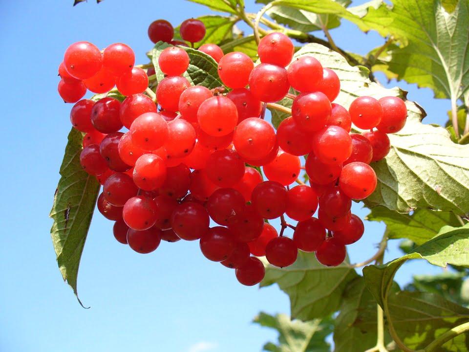 Merisoarele - o sursa pretioasa de antioxidanti