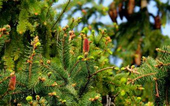 Plante, flori și arbori folosite pentru sărbătoarea Crăciunului