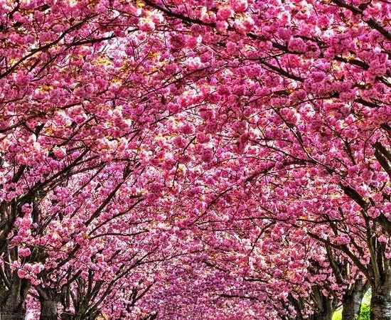 Paradisuri florale. Înflorirea cireșilor, Japonia