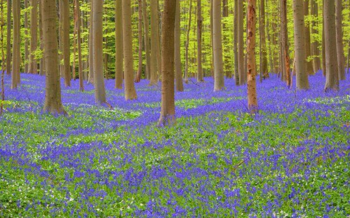 Pădurea Hallerbos, Belgia