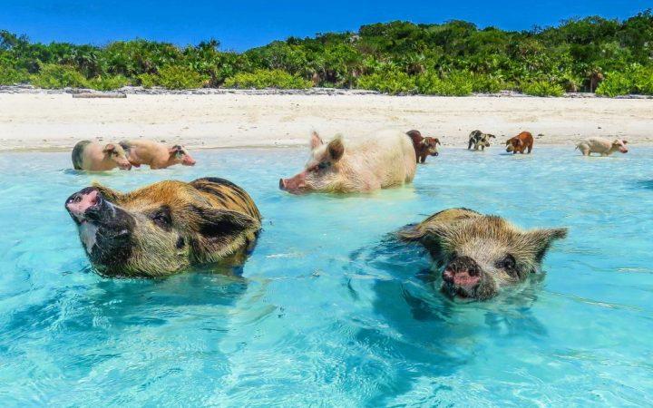 Înoată cu porcușorii – Bahamas