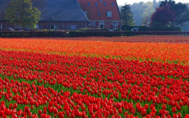 Keukenhof - cea mai mare grădină de primăvară din lume