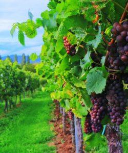 Pe drumul vinului. Destinații pitorești unde poți face degustări de vin
