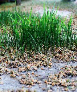 Beneficiile uleiului din germeni de grâu. Proprietăți și utilizări