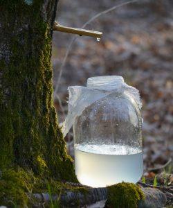 Beneficiile sevei de mesteacăn. Un nectar prețios