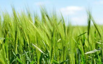 Beneficiile orzului verde. Ce este iarba de orz și la ce se folosește