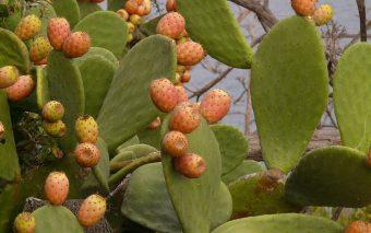 Beneficiile uleiului din semințe de cactus. Un elixir al frumuseții